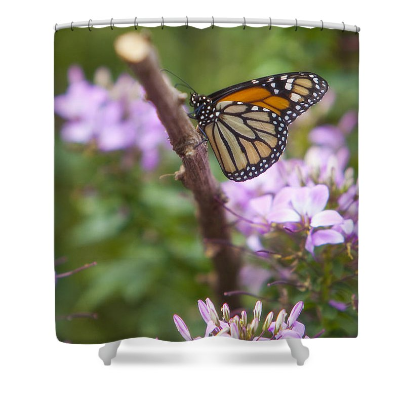 Butterfly Shower Curtain featuring the photograph Monarch Butterfly by Amy Jackson