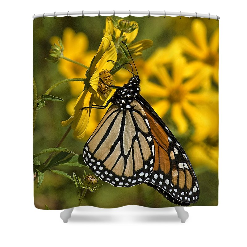 Nature Shower Curtain featuring the photograph Monarch Butterfly On Tickseed Sunflower Din146 by Gerry Gantt