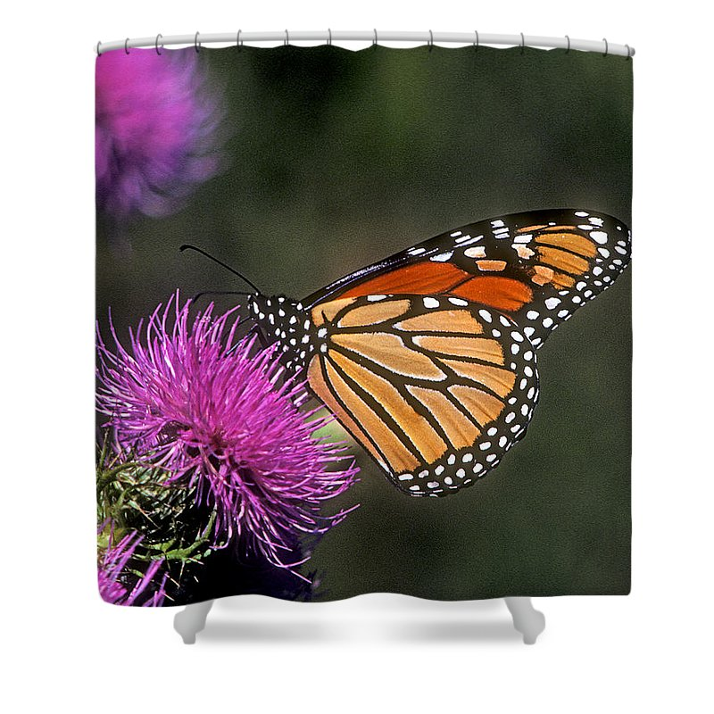 Nature Shower Curtain featuring the photograph Monarch On Thistle 13f by Gerry Gantt