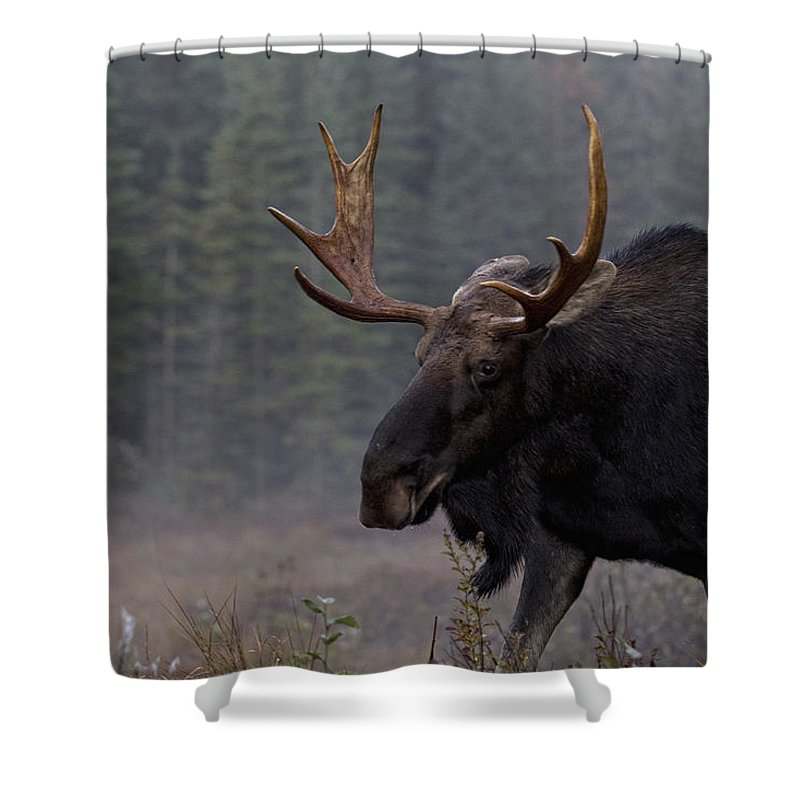 Light Shower Curtain featuring the photograph Moose, Algonquin Provincial Park by Robert Postma