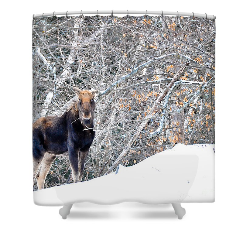 Moose Shower Curtain featuring the photograph Munching by Cheryl Baxter