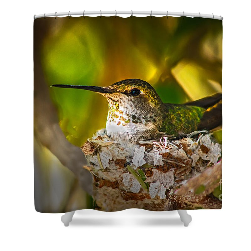 Humming Birds Shower Curtain featuring the photograph Nesting by Robert Bales
