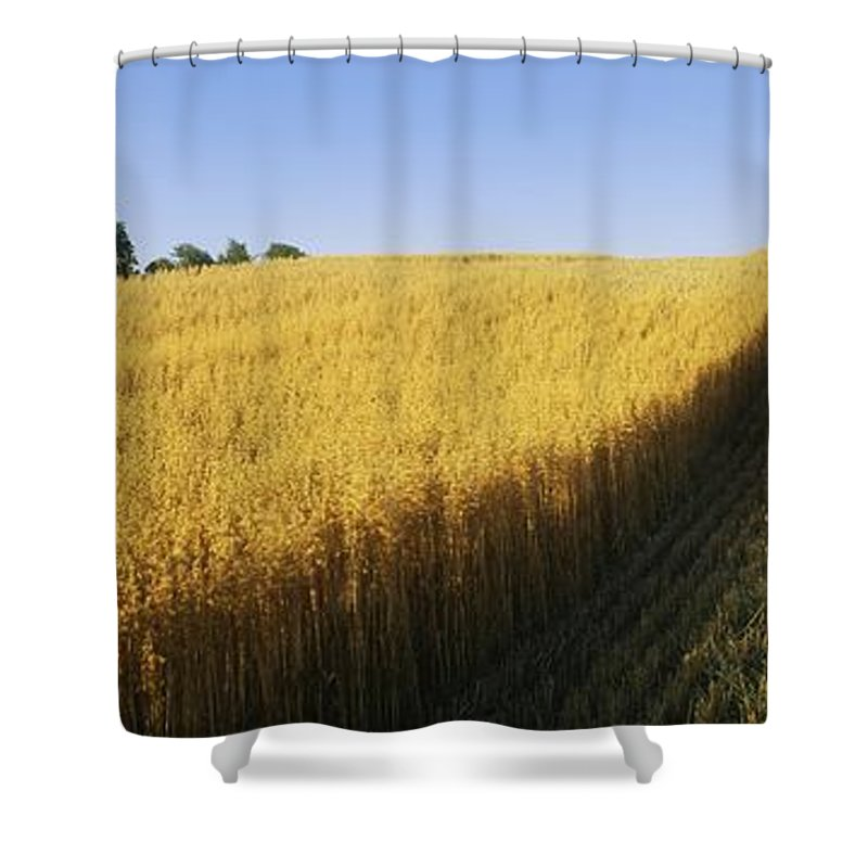 Cereal Plant Shower Curtain featuring the photograph Oat Crops On A Landscape, County Dawn by The Irish Image Collection