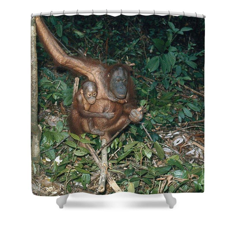 Orangutan Shower Curtain featuring the photograph Orangutan With Baby by Edward Drews