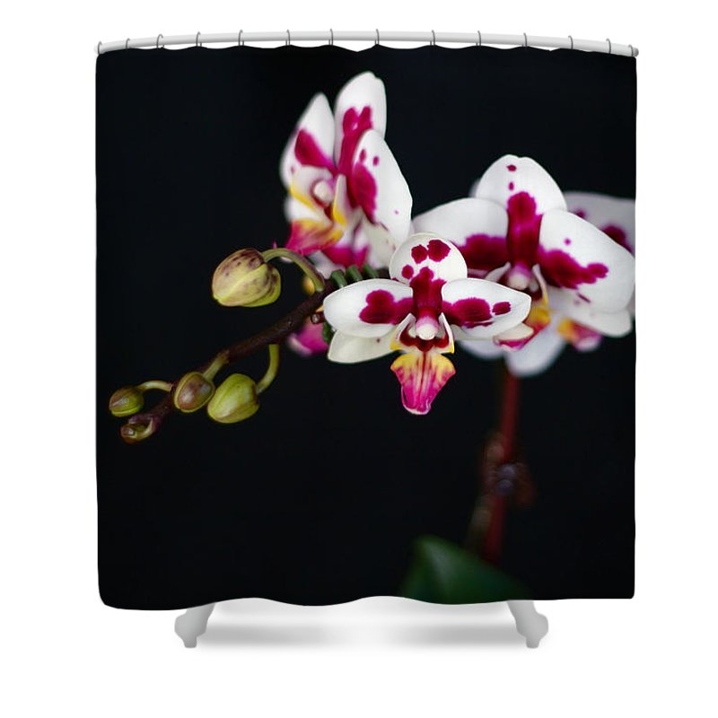 Orchid Shower Curtain featuring the photograph Orchid Flowers Against Black Background by Stephanie McDowell
