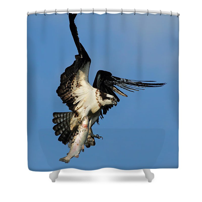 Adult Shower Curtain featuring the photograph Osprey And Rainbow Trout by Mircea Costina Photography
