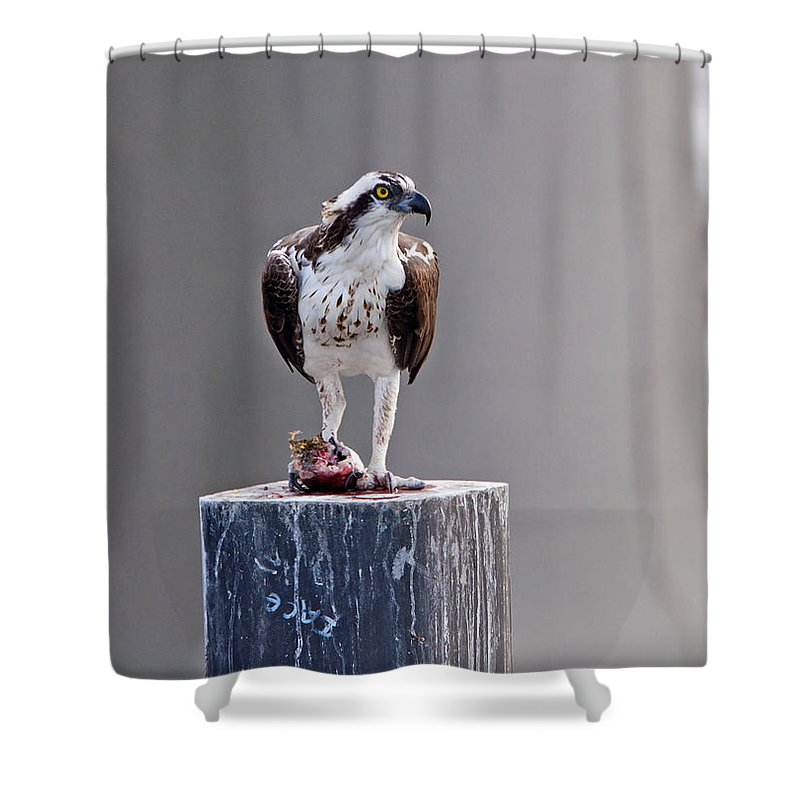 Wildlife Shower Curtain featuring the photograph Osprey And Sushi by Kenneth Albin