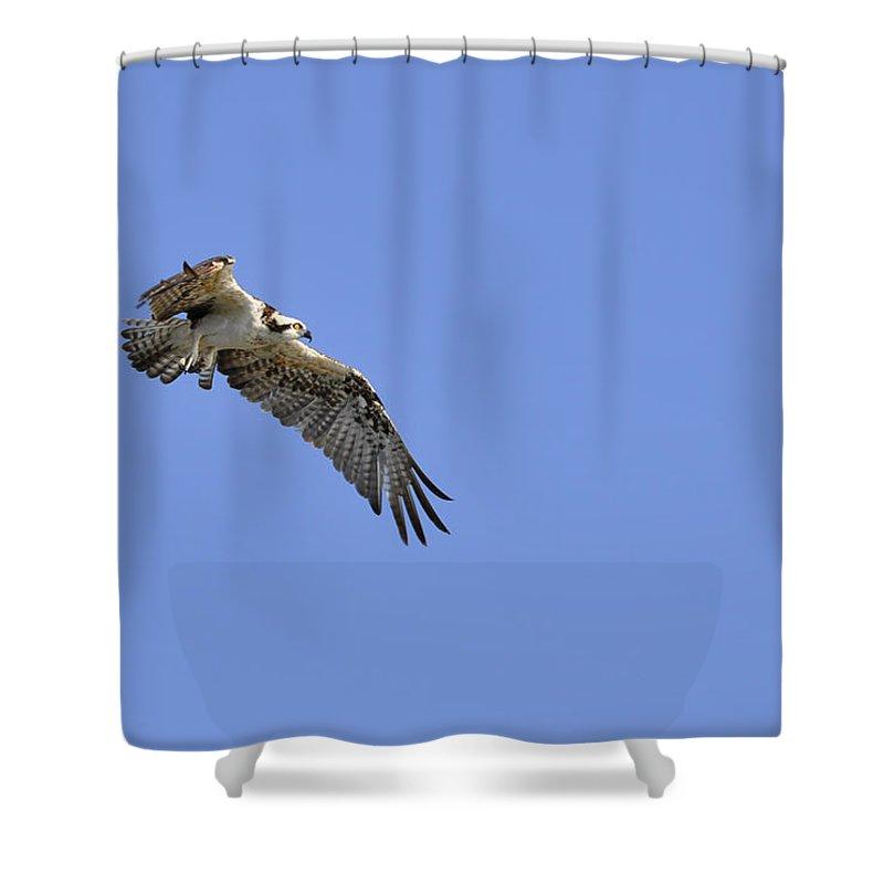 Osprey Shower Curtain featuring the photograph Osprey in Flight by Christine Stonebridge