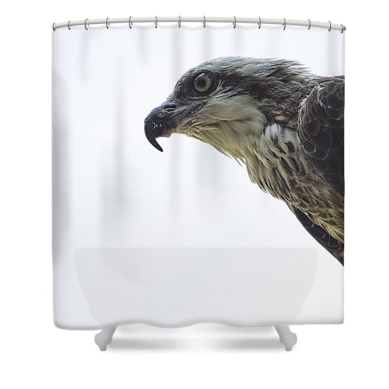 Osprey Shower Curtain featuring the photograph Osprey Top-End Australia by Douglas Barnard