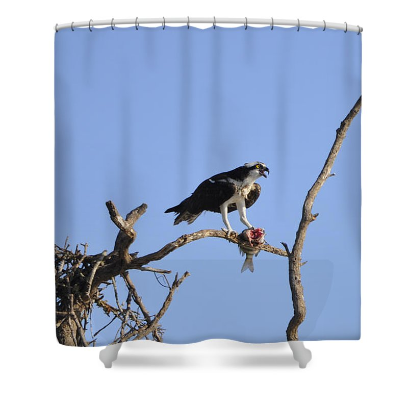 Osprey Shower Curtain featuring the photograph Osprey with Catch I by Christine Stonebridge