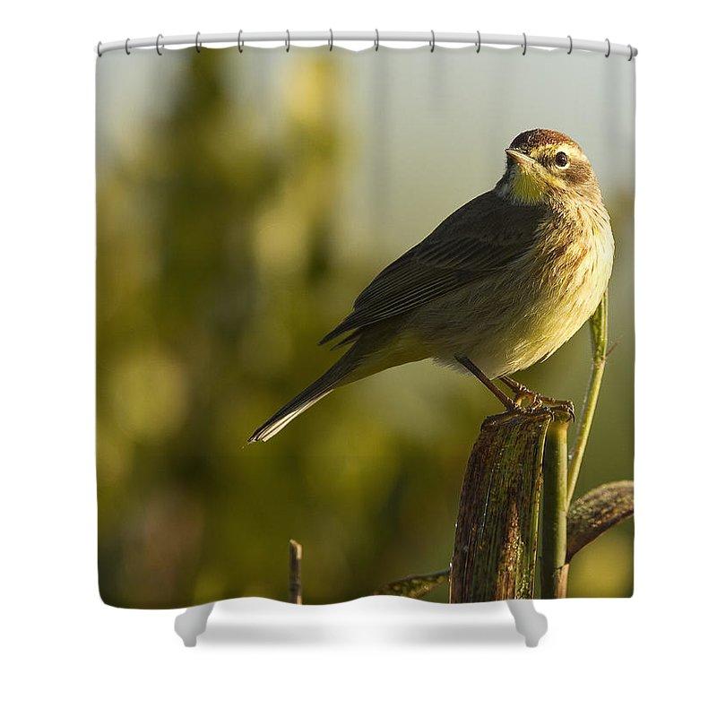 Light Shower Curtain featuring the photograph Palm Warbler, Everglades National Park by Robert Postma