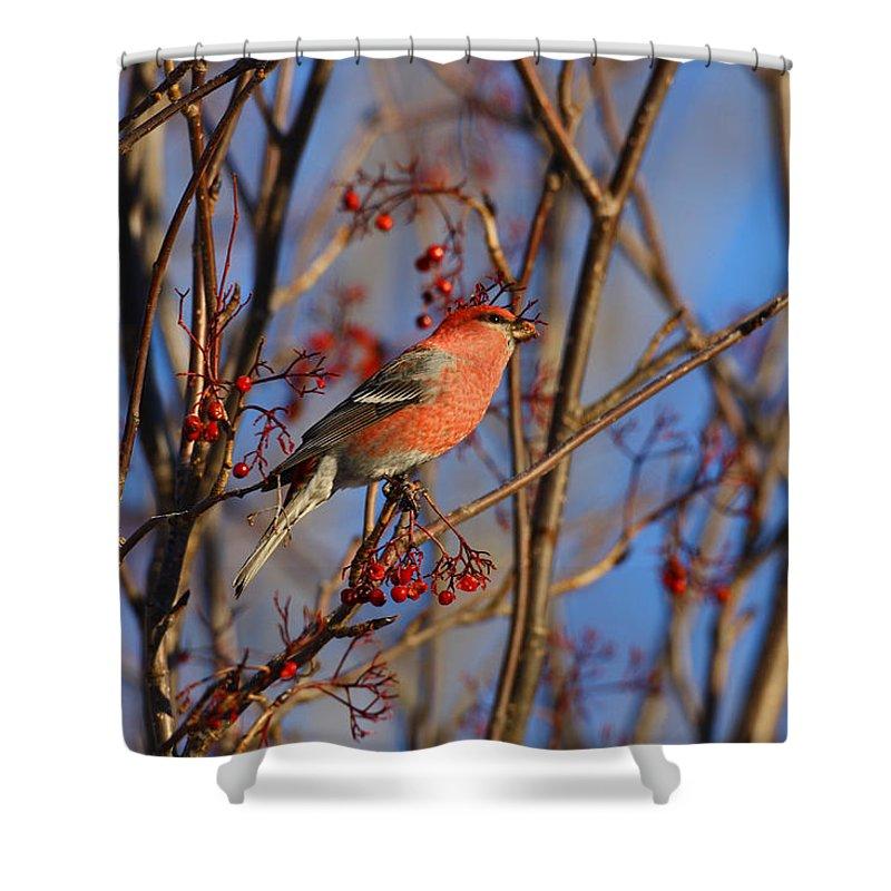 Alaska Shower Curtain featuring the photograph Pine Grosbeak by Doug Lloyd