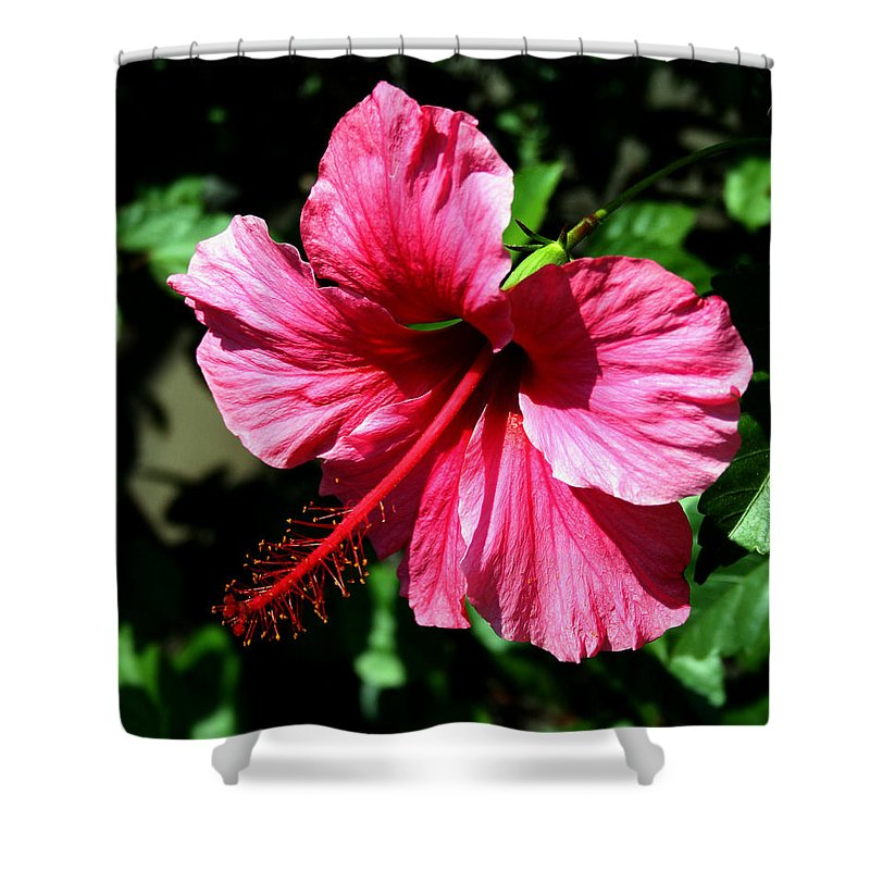 Hibiscus Shower Curtain featuring the photograph Pink Hibiscus2 by Karen Harrison