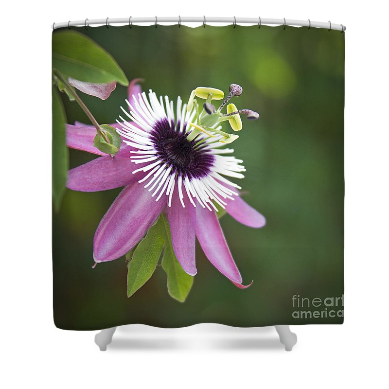 Pink passion flower shower curtain for sale by glennis siverson passion shower curtain featuring the photograph pink passion flower by glennis siverson mightylinksfo