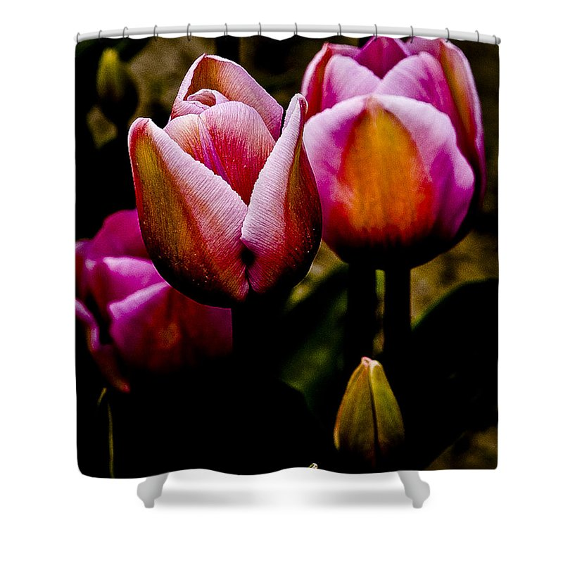 Tulips Shower Curtain featuring the photograph Pink Tulips by David Patterson