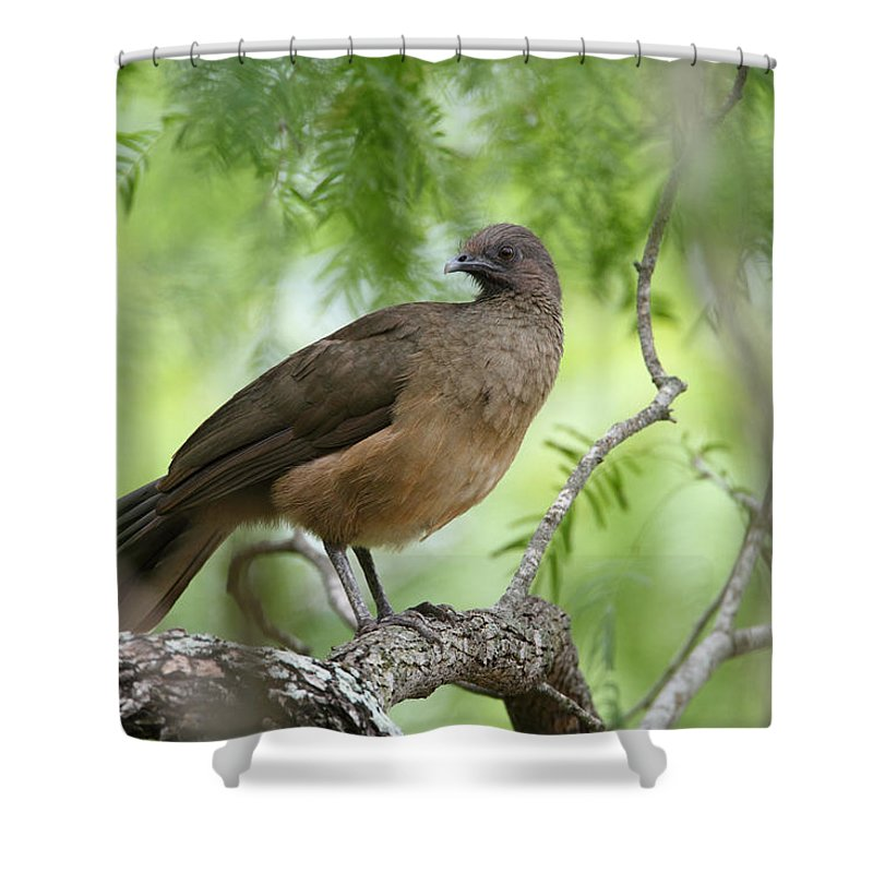 Doug Lloyd Shower Curtain featuring the photograph Plain Chachalaca by Doug Lloyd