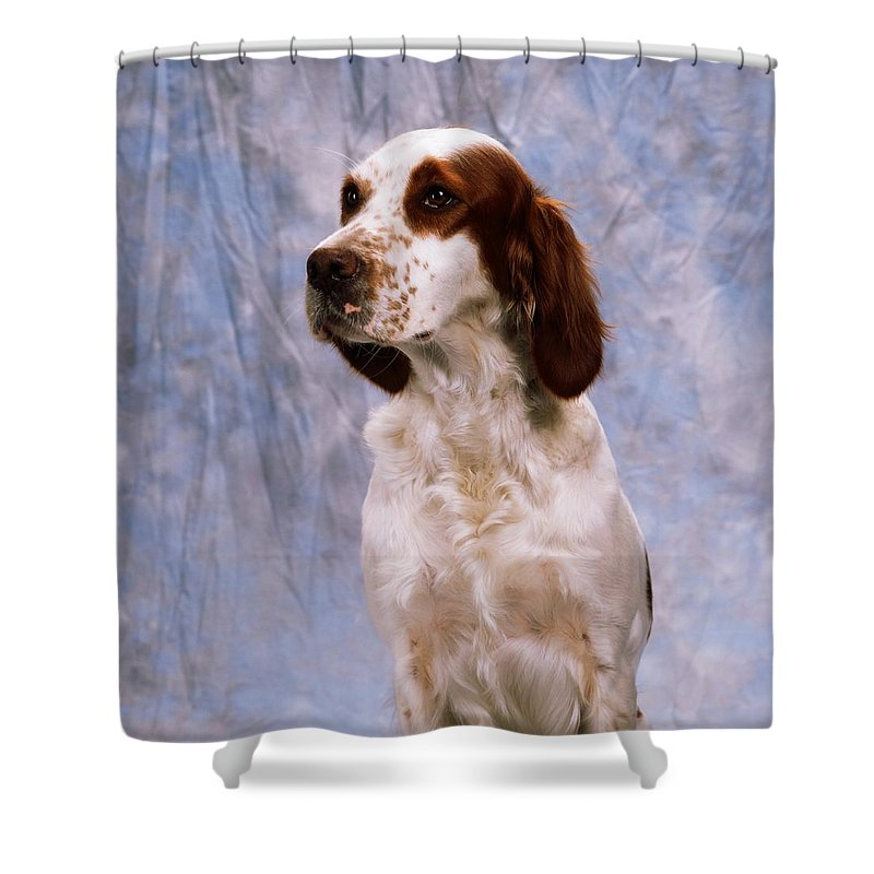 Animals Shower Curtain featuring the photograph Portrait Of Irish Red And White Setter by The Irish Image Collection