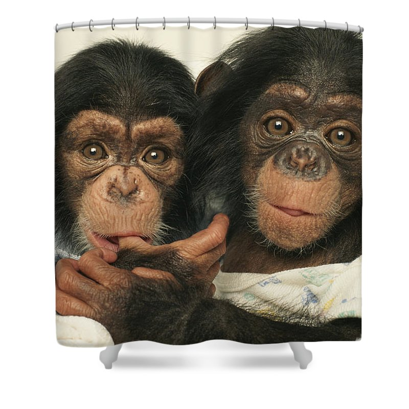 North America Shower Curtain featuring the photograph Portrait Of Two Young Laboratory Chimps by Steve Winter