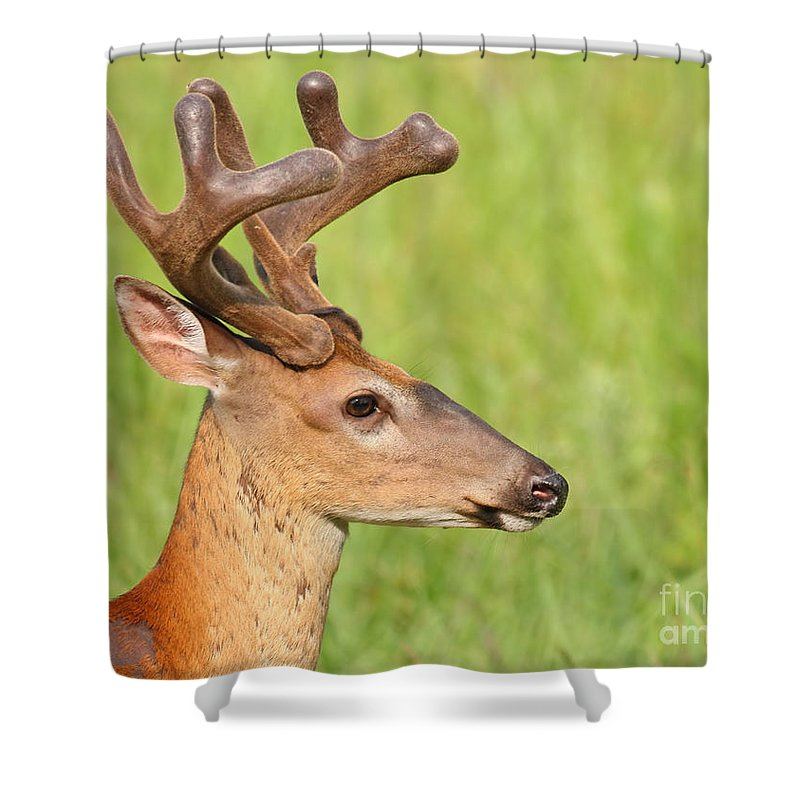 Whitetail Shower Curtain featuring the photograph Pretty In Velvet by David Cutts