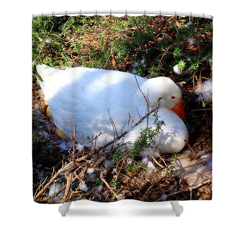 Duck Shower Curtain featuring the photograph Protecting Her Eggs by David G Paul
