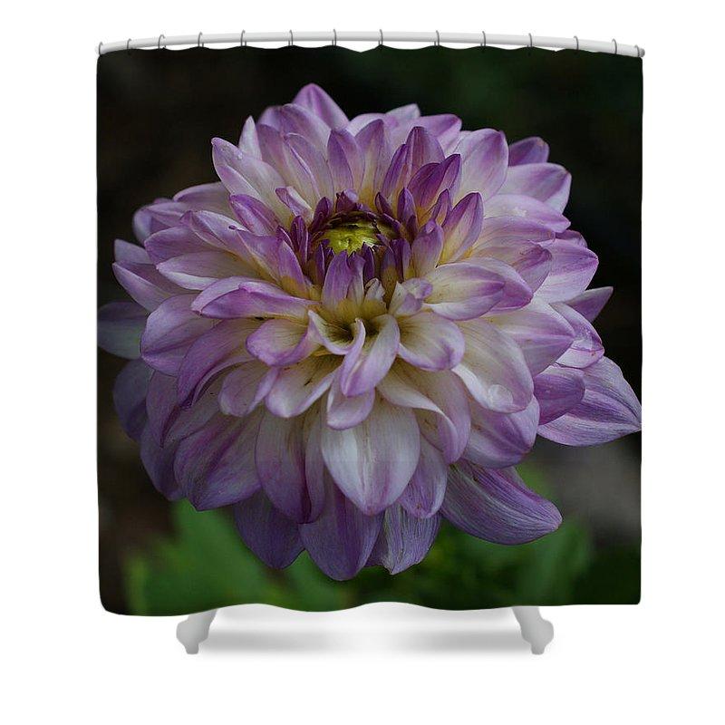 Purple Dahlia Shower Curtain featuring the photograph Purple Dahlia 3 by Ernie Echols
