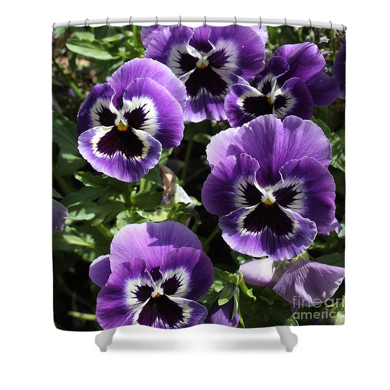 Pansy Shower Curtain Featuring The Photograph Purple Pansies Square By Carol Groenen