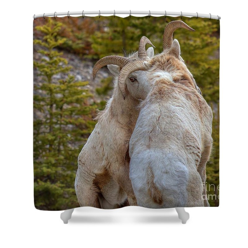 Bighorn Rams Shower Curtain featuring the photograph Ram-bunctious by James Anderson