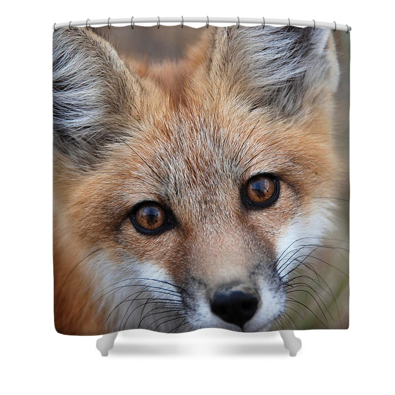 Red Fox Shower Curtain featuring the photograph Red Fox 352 by Diana Grant