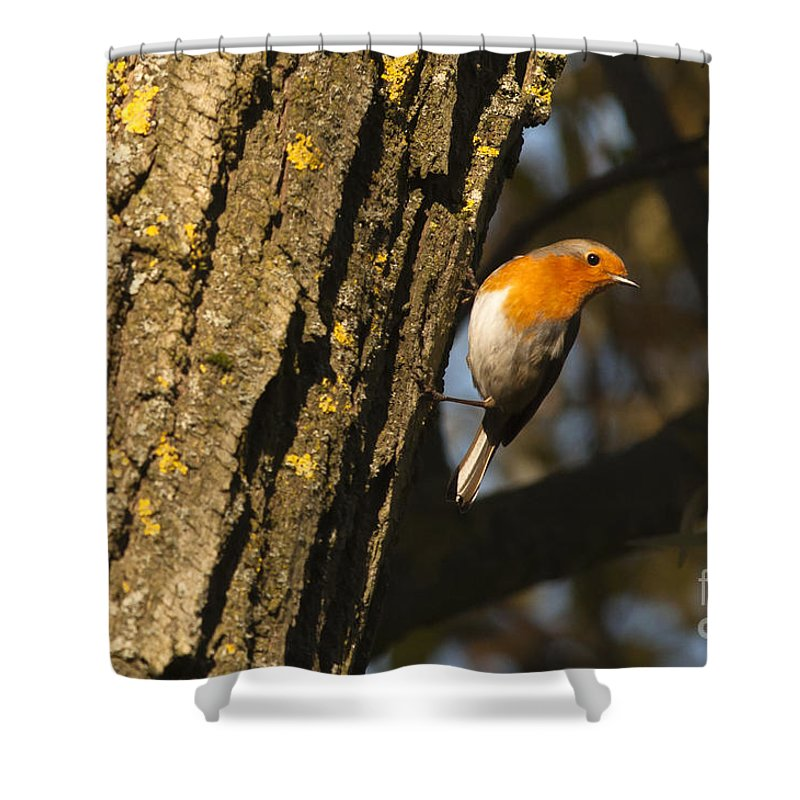 Britain Shower Curtain featuring the photograph Robin On Tree by Andrew Michael