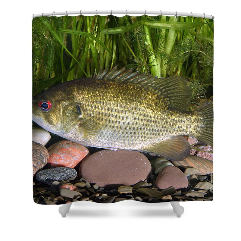 Animal Shower Curtain featuring the photograph Rock Bass by Ted Kinsman