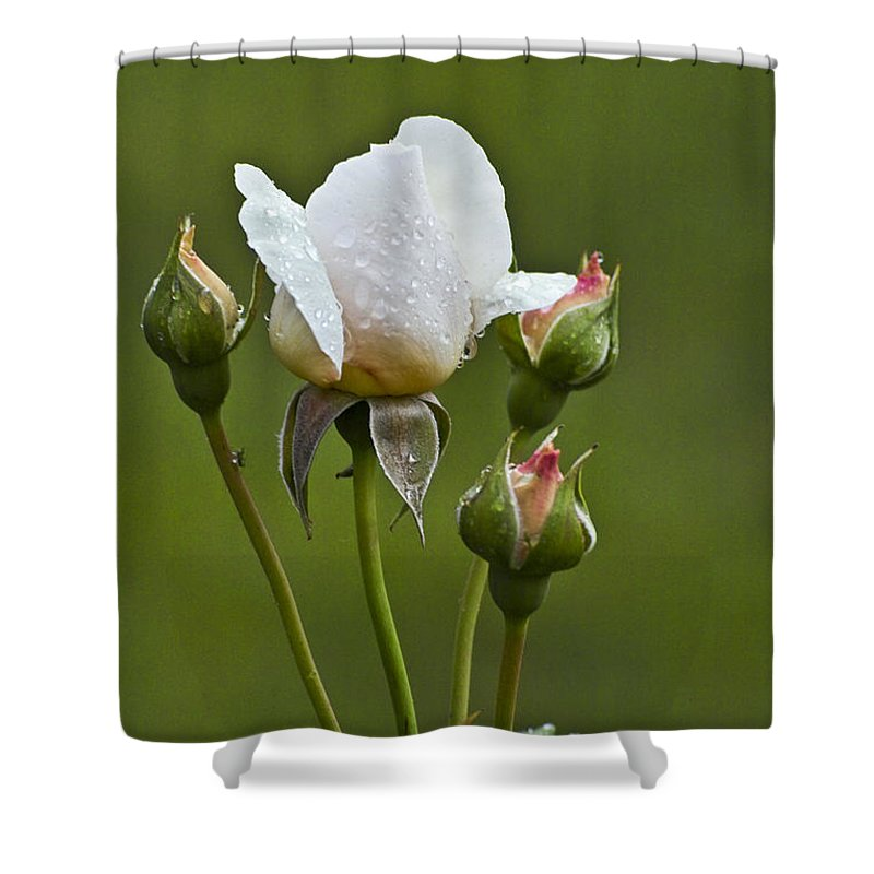 Rose Shower Curtain featuring the photograph Rose Flower Series 6 by Heiko Koehrer-Wagner
