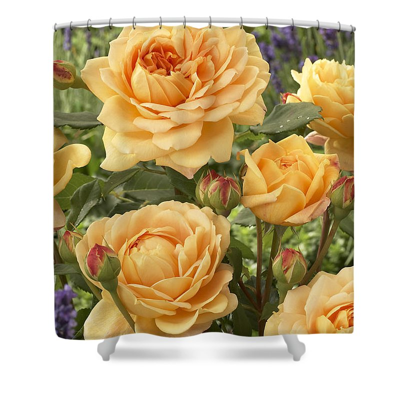 Vp Shower Curtain featuring the photograph Rose Rosa Sp Golden Celebration Variety by VisionsPictures