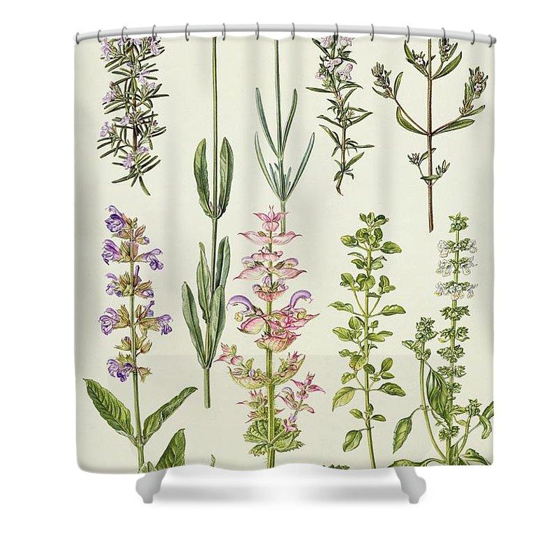 lavender winter summer savory basil sage herb bush
