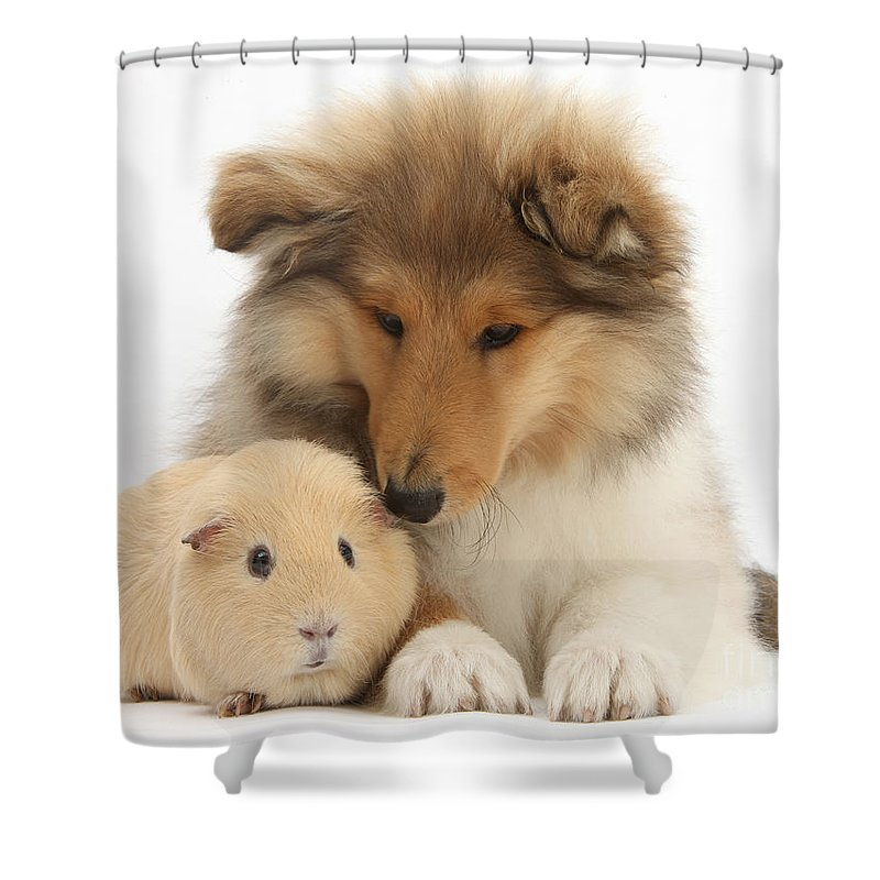 Nature Shower Curtain featuring the photograph Rough Collie Pup And Yellow Guinea Pig by Mark Taylor