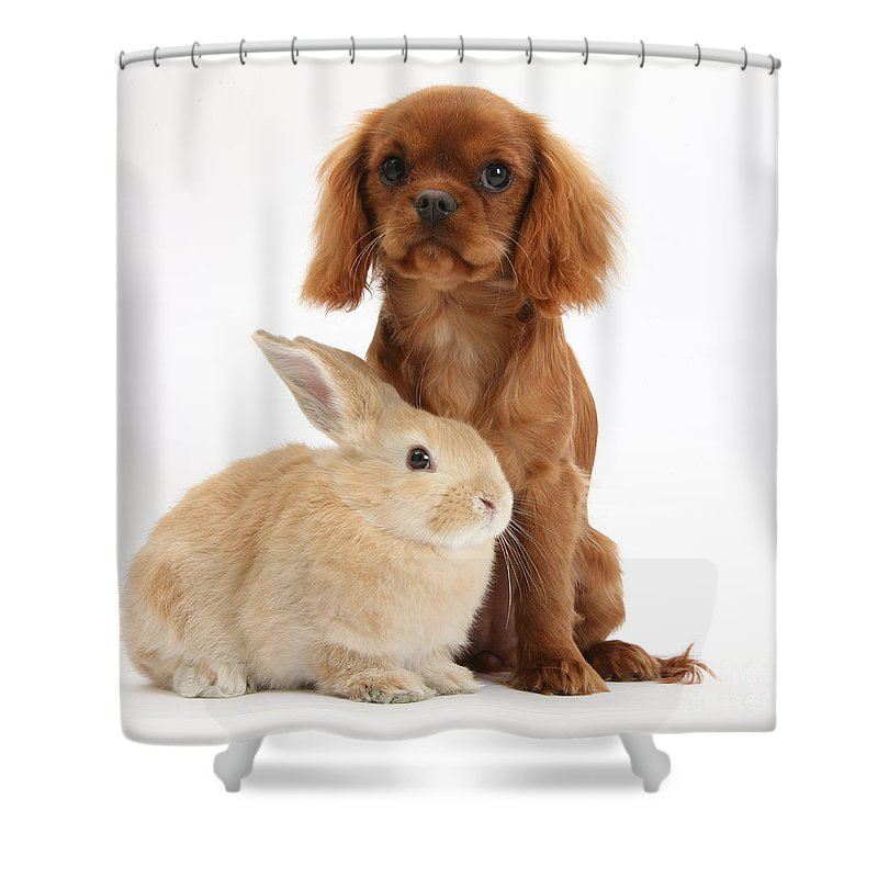 Nature Shower Curtain featuring the photograph Ruby Cavalier King Charles Spaniel Pup by Mark Taylor
