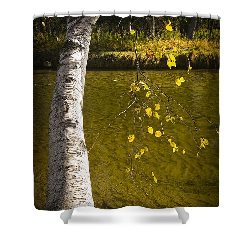 Art Shower Curtain featuring the photograph Salmon During The Fall Migration In The Little Manistee River In Michigan No. 0887 by Randall Nyhof