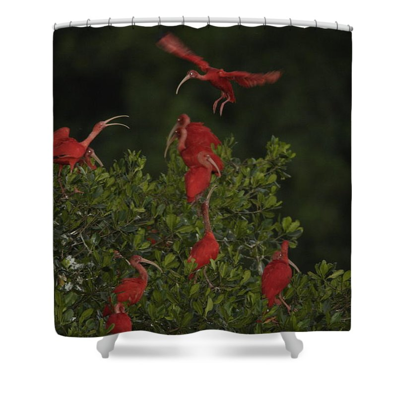 Scarlet Ibises Shower Curtain featuring the photograph Scarlet Ibises Roost In A Red Mangrove by Tim Laman