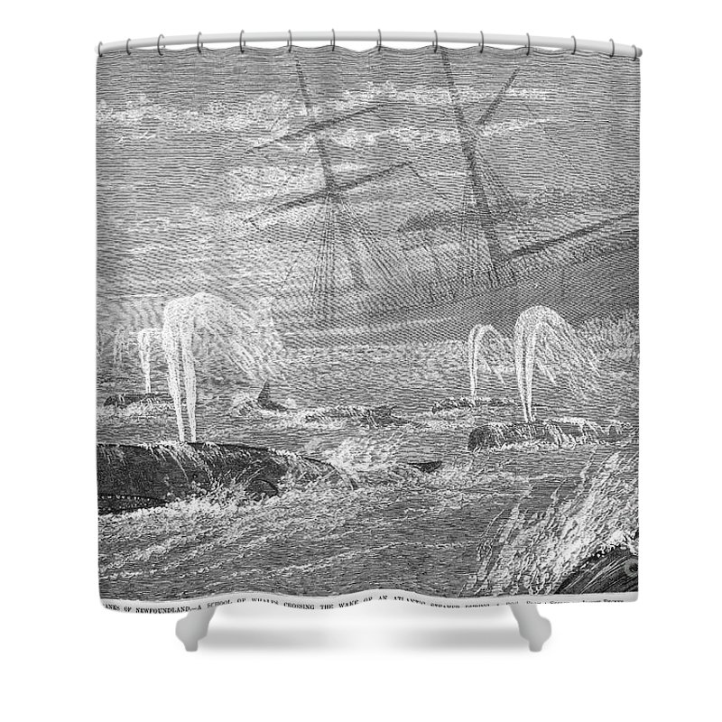 1876 Shower Curtain featuring the photograph School Of Whales, 1876 by Granger