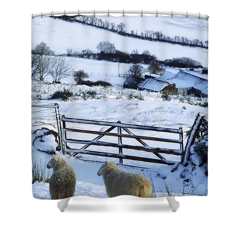 Winter Shower Curtain featuring the photograph Sheep, Ireland Sheep And A Farm During by The Irish Image Collection