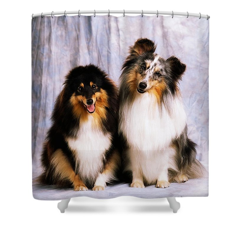 Animal Shower Curtain featuring the photograph Shetland Sheepdogs Portrait Of Two Dogs by The Irish Image Collection