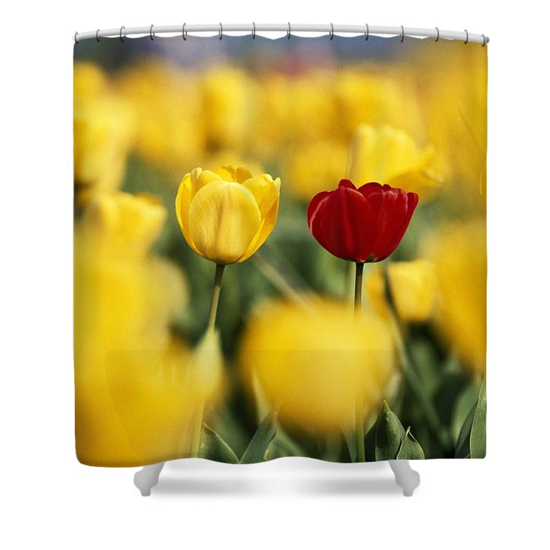 Outdoors Shower Curtain Featuring The Photograph Single Red Tulip Among Yellow Tulips By Natural Selection Craig