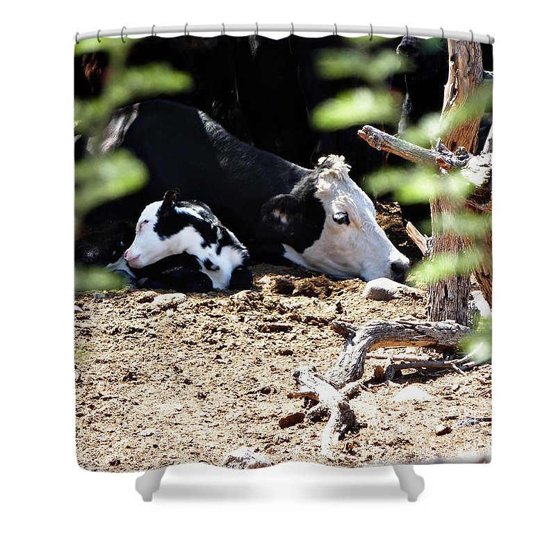 Sleepy Arizona Cows Shower Curtain featuring the photograph Sleepy Arizona Cows by Methune Hively