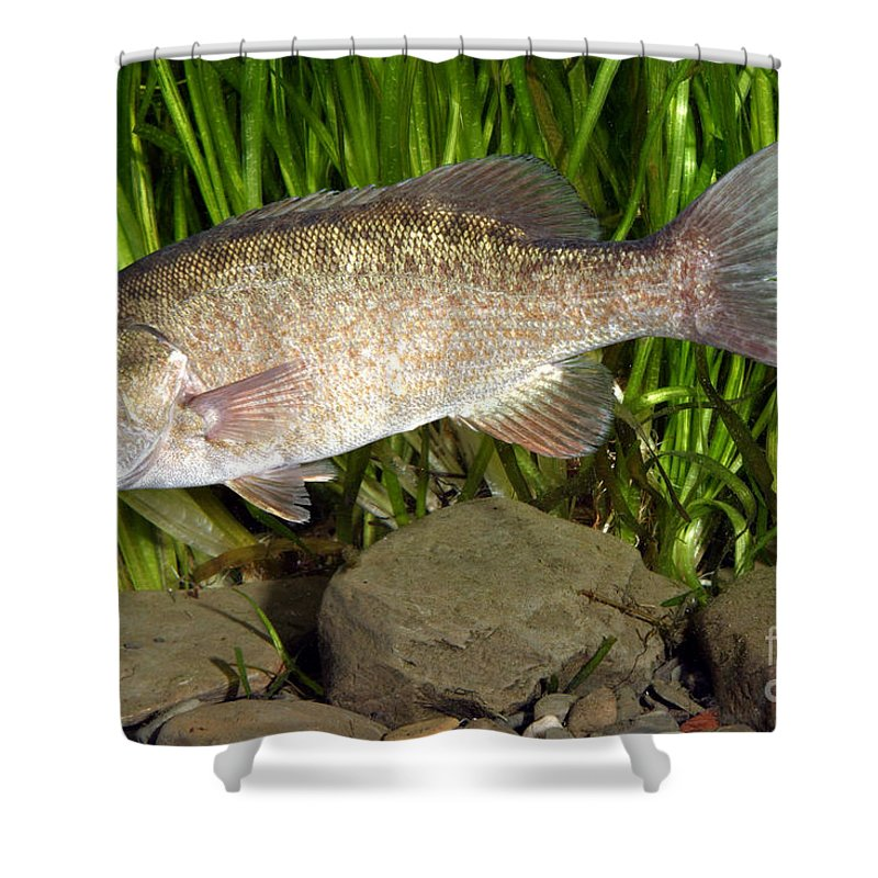 Freshwater Shower Curtain featuring the photograph Smallmouth Bass Micropterus Dolomieu by Ted Kinsman