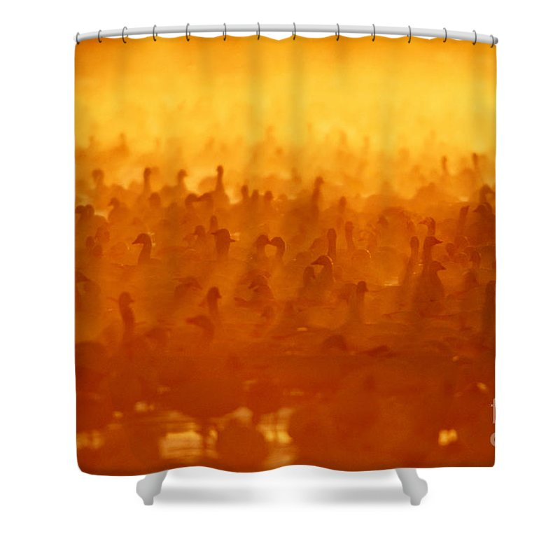 Snow Goose Shower Curtain featuring the photograph Snow Geese At Sunrise by Craig K Lorenz and Photo Researchers