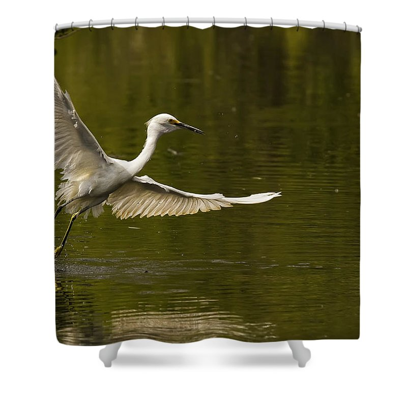 Light Shower Curtain featuring the photograph Snowy Egret Fishing In Florida by Robert Postma
