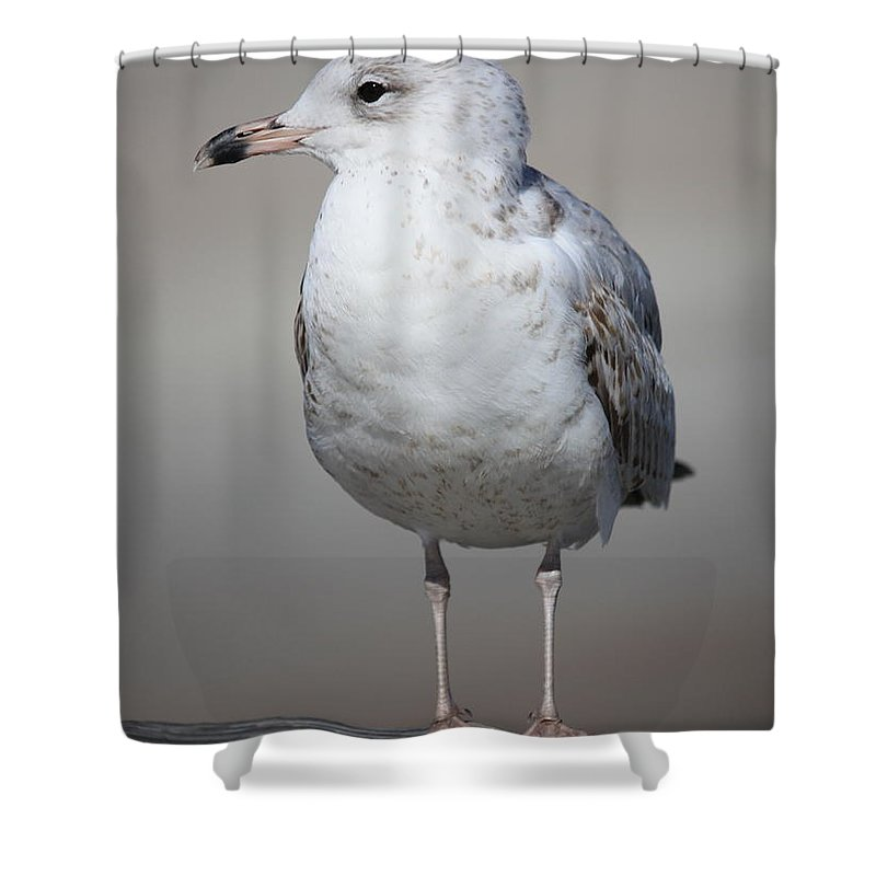 Seagull Shower Curtain featuring the photograph Standing Seagull by Carol Groenen