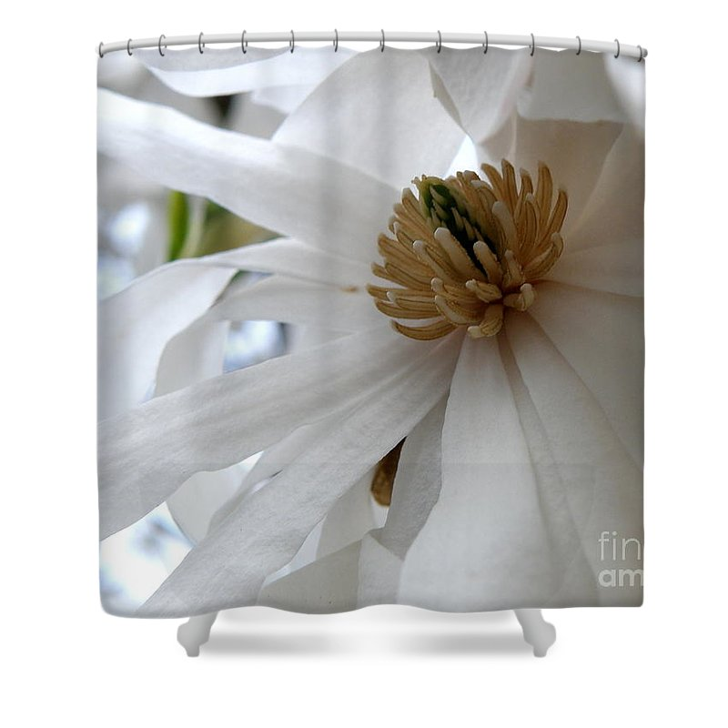Magnolia Shower Curtain featuring the photograph Star Magnolia by Lainie Wrightson