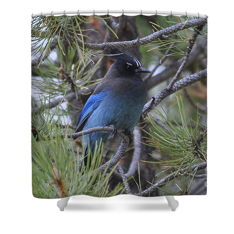 Birds Shower Curtain featuring the photograph Stellar's Jay In Profile by Dorrene BrownButterfield