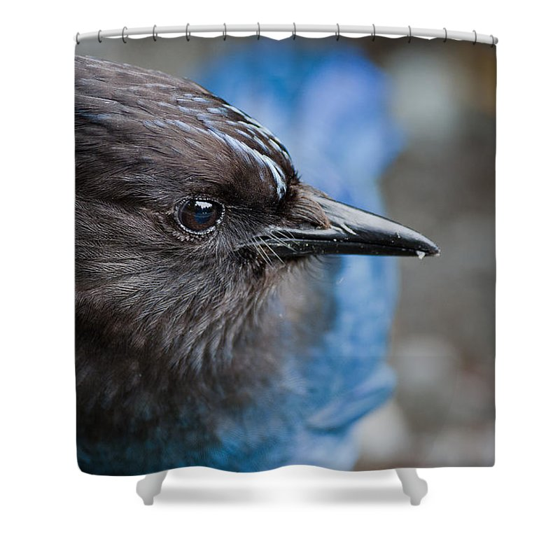 Stellers Jay Shower Curtain featuring the photograph Stellars Jay Up Close And Personal by Greg Nyquist