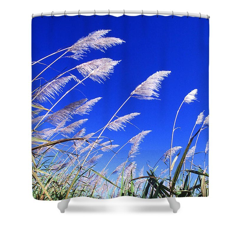 Sugar Shower Curtain featuring the photograph Sugarcane by Photo Researchers